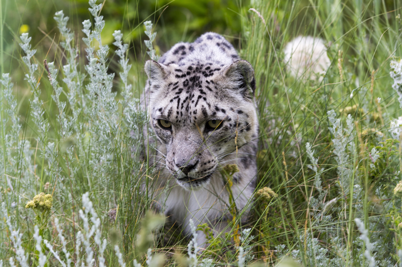 Snow Leopard Foundation